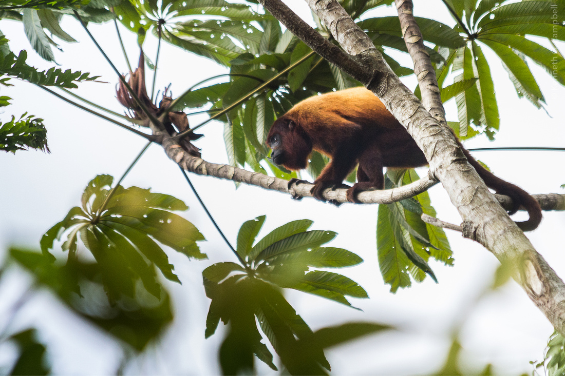(Brownsburg Nature Preserve) A scout from the Howler Monkey troupe answers Sergio,s call